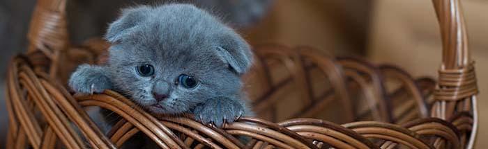 adopt-a-pet-cat