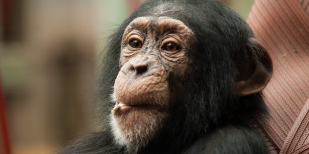 Save Chimpanzees from Imprisonment in Tiny Cages