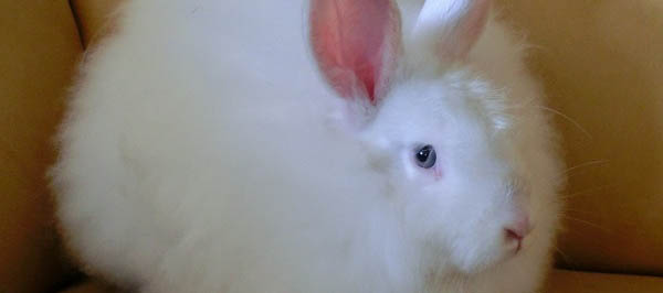 Victory for Angora Bunnies