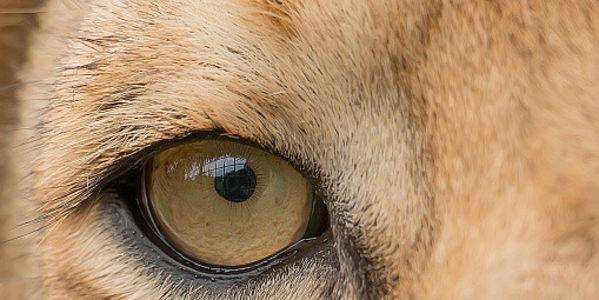 lion-farming
