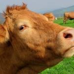 kosher-cow
