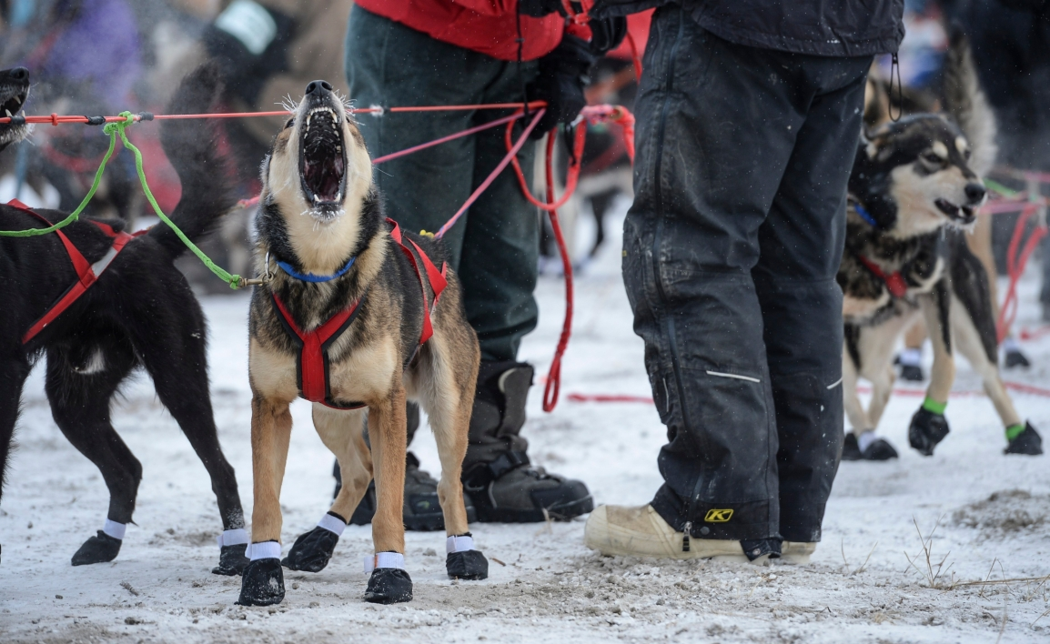 Ask Sponsors to Withdraw from the Iditarod Dog Race!